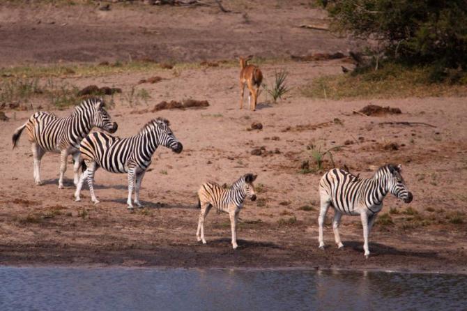 africa_south_africa_zebra_family_1