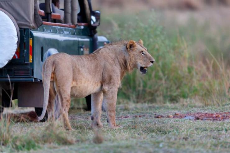 africa_tanzania_kenya_lion_directly_to_the_safari_car_early_in_the_morning_in_masai_mara