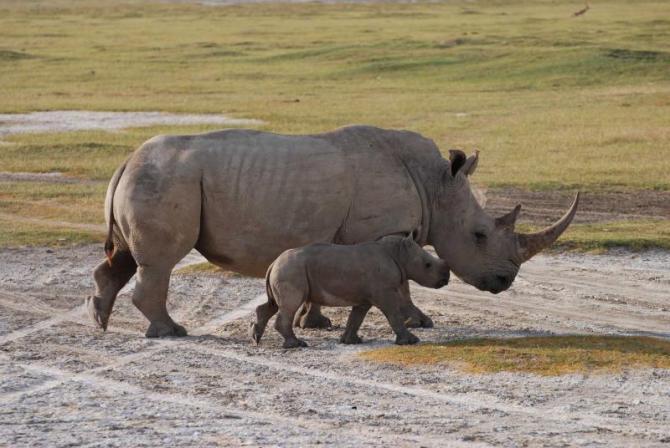 africa_tanzania_kenya_rhino_with_baby