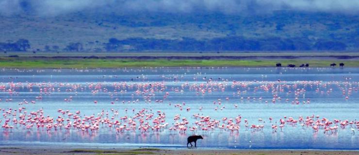 africa_tanzania_ngorongoro_hyena_with_a_lake_full_of_pink_flamingos_in_the_ngorongoro_crater_0