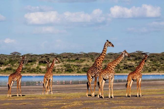 africa_tanzania_serengeti_beautiful_herd_of_giraffes_near_ndutu_river_in_the_serengeti