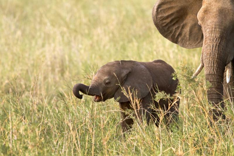 africa_tanzania_tarangire_national_park_baby_elephant_eating_grass_for_the_first_time_0