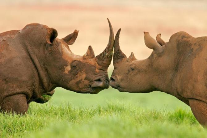 africa_white_rhinoceros_0