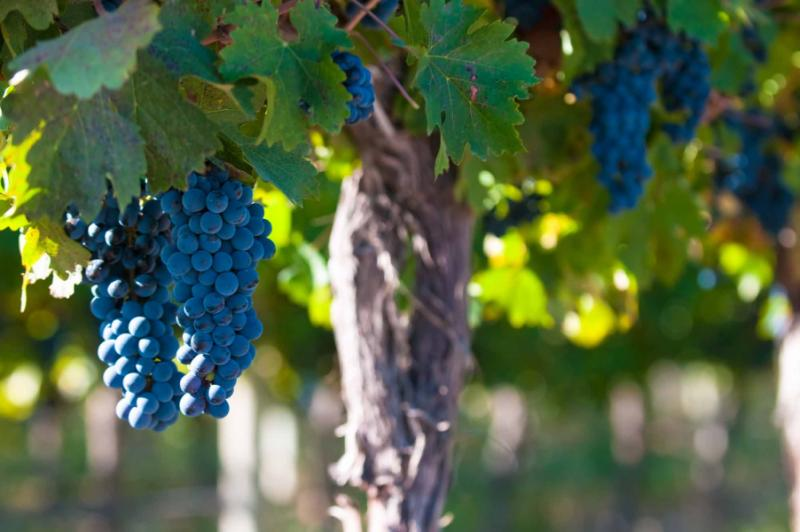 argentina-mendonza-wine-grapebunch
