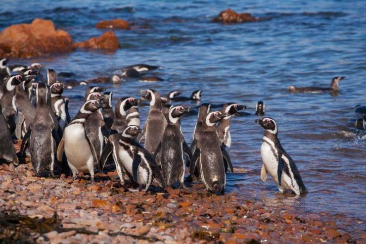 argentina-patagonia-magellanic_penguin