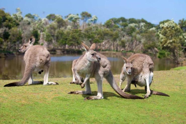 australiagroupofkangaroosinphillipislandwildlifepark123