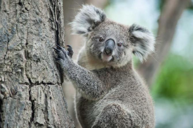 australian_koala_sit_on_tree_sydney_nsw_australia._exotic_iconic_aussie_mammal_animal_with_infant_in_lush_jungle_rainforest