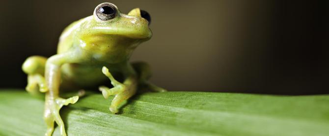 Brazil-Amazon-Frog-on-Leaf-LT-Header