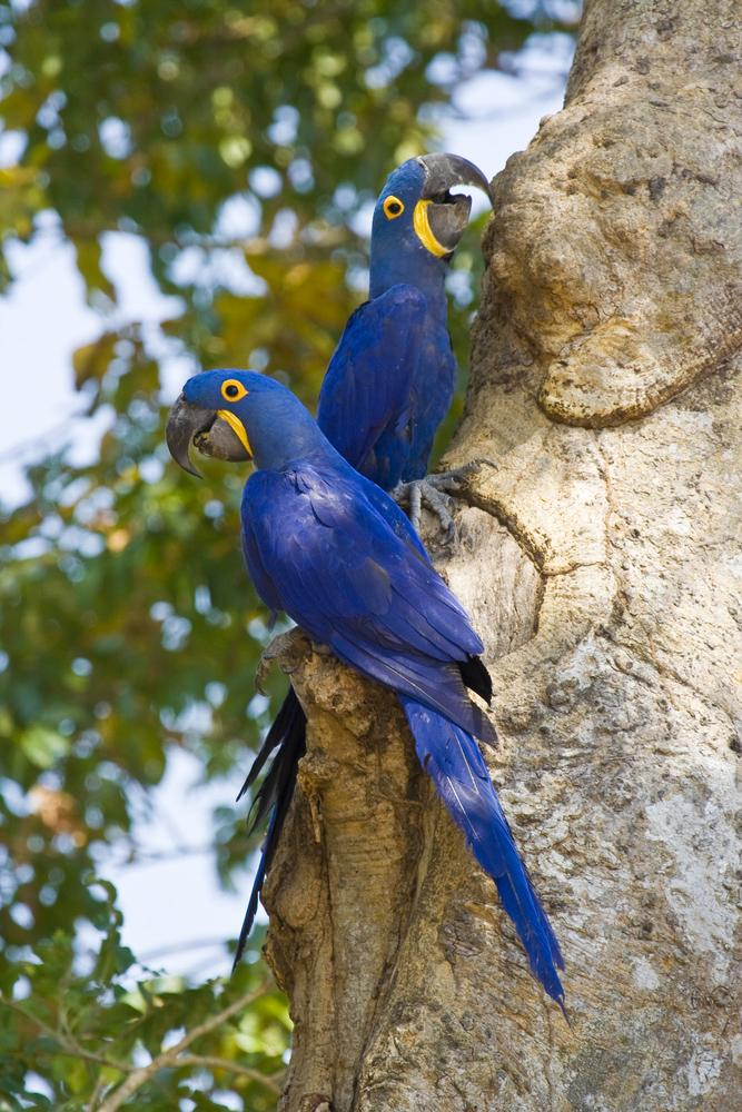 brazil-pantanal-blue-and-gold-macaws