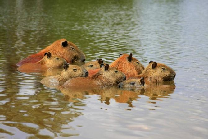 brazil-pantanal-capybara-family-sleeping-full