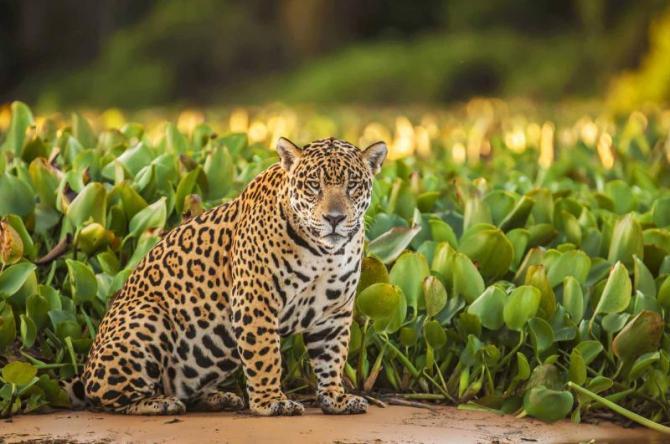 brazil_amazon_jaguar