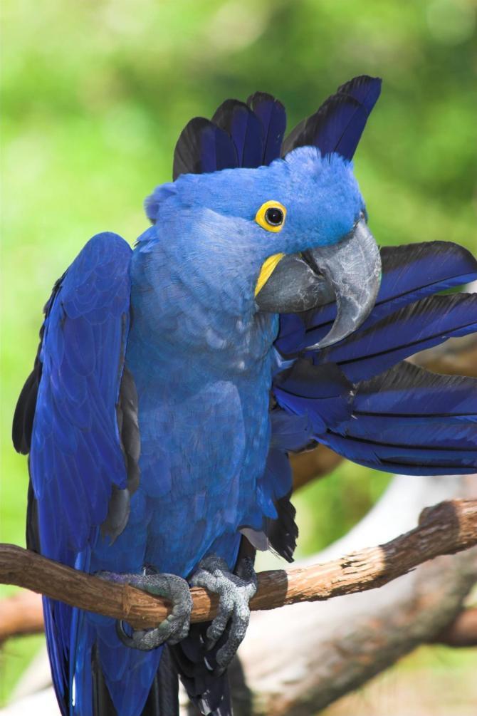 Brazil_Amazon_Tour_Hyacinth_Macaw_-_gap_lost_world