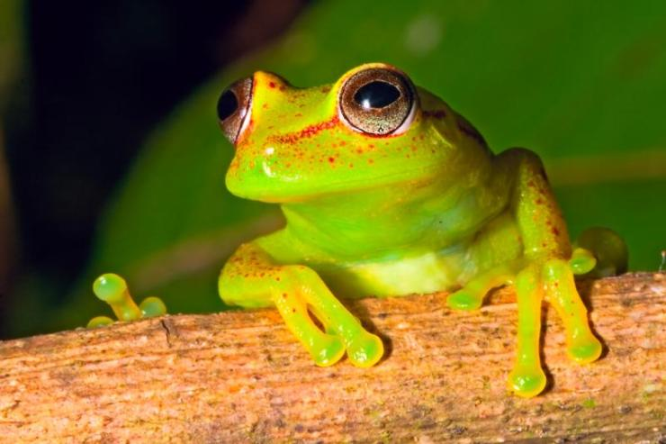 Brazil_Amazon_Tour_Tree_Frog_-_lost_world