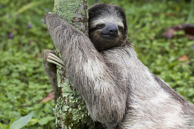cost_rica_three-toed_sloth