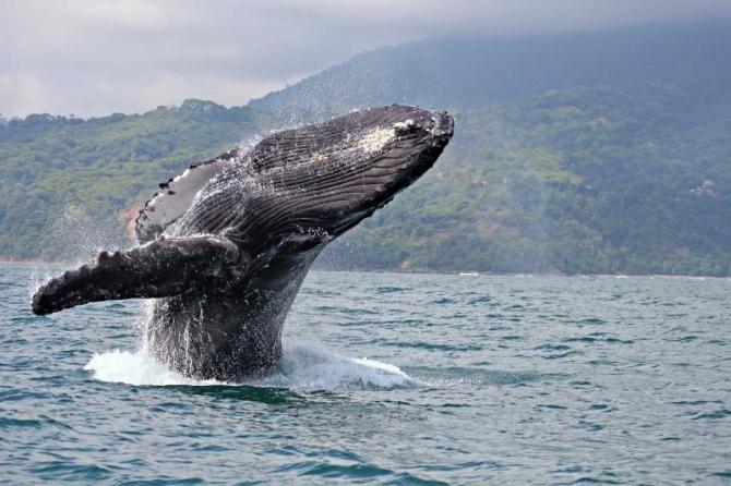 costa-rica-bahia-marino-ballena-national-park-humpback-breach
