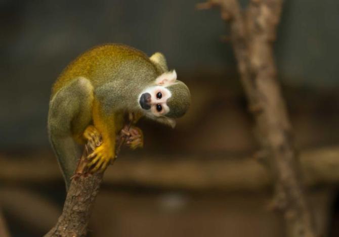 costa-rica-manuel-antonio-squirrel-monkey_0