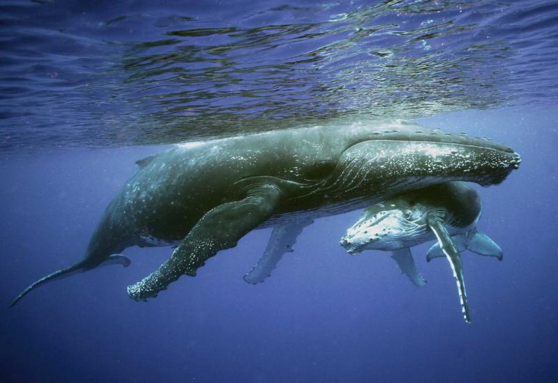 costa-rica-migrating-humpback-whale-and-calf-underwater