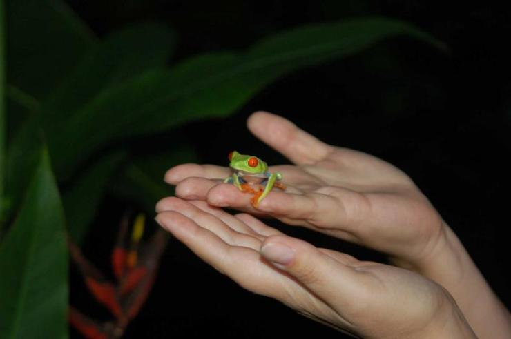 costa_rica-red-eyed_tree_frog_on_the_palm_of_a_womans_hand_0