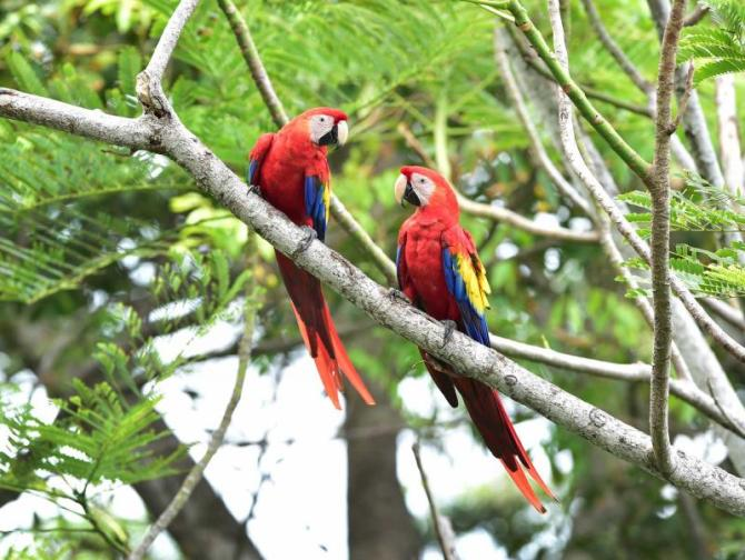 costa_rica_corcovado_national_park_pair_of_wild_scarlet_macaws_on_tree