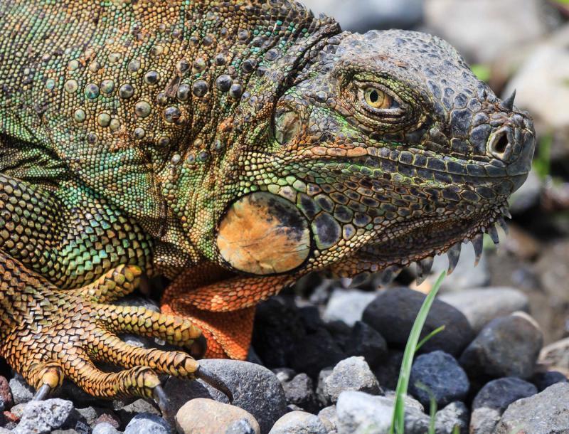 costa_rica_iguana_close_up__0
