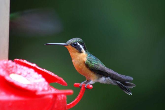 costa_rica_kolibri_bird_0