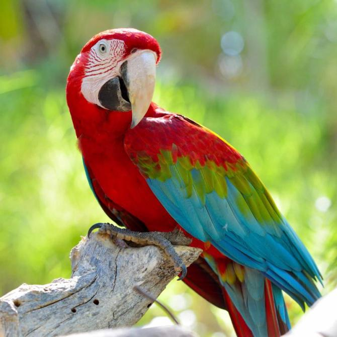 costa_rica_macaw_sitting_on_branch