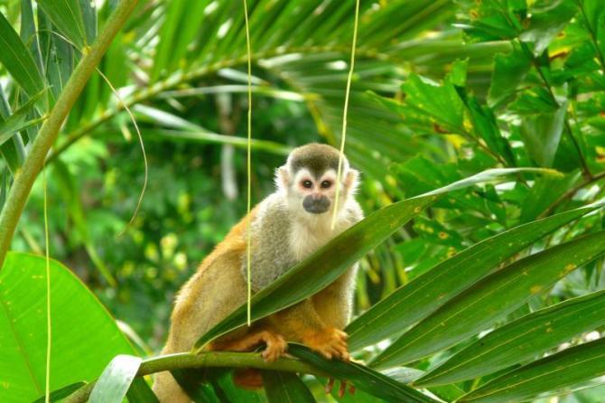 costa_rica_manuel_antonio_national_park_squirrel_monkey_0