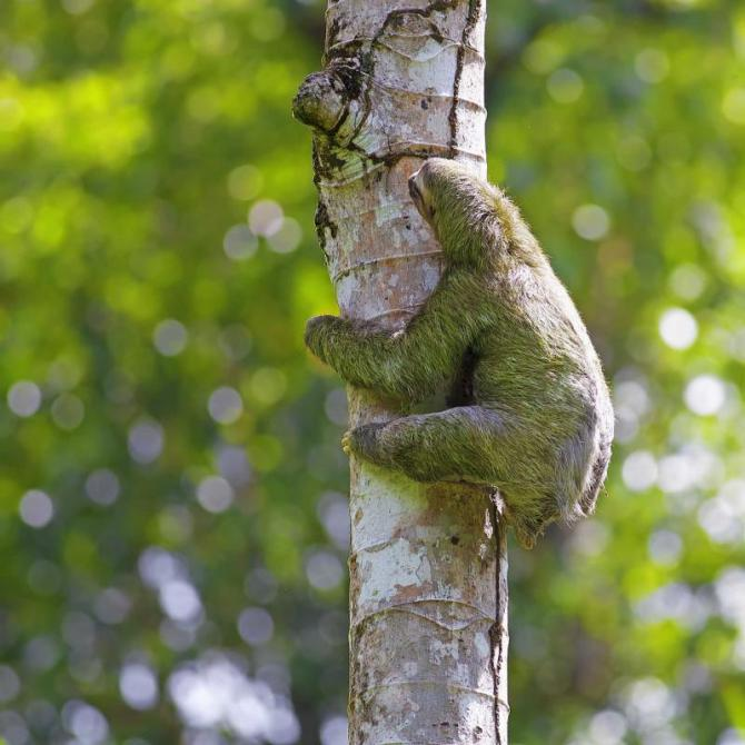costa_rica_puntarenas_three_toed_sloth_climbing_down_tree