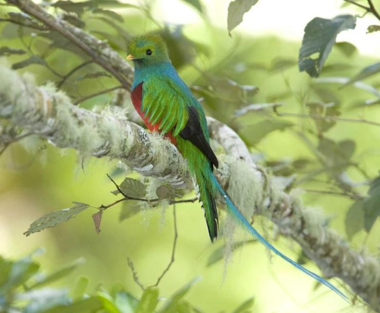 costa_rica_san_gerardo_de_dota_resplendent_quetzal