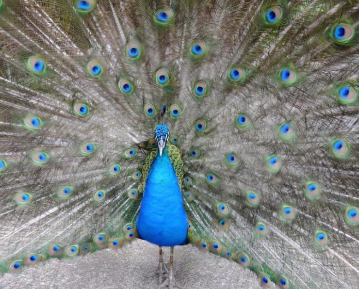 costa_rica_san_jose_indian_peacock_with_feathers_extended
