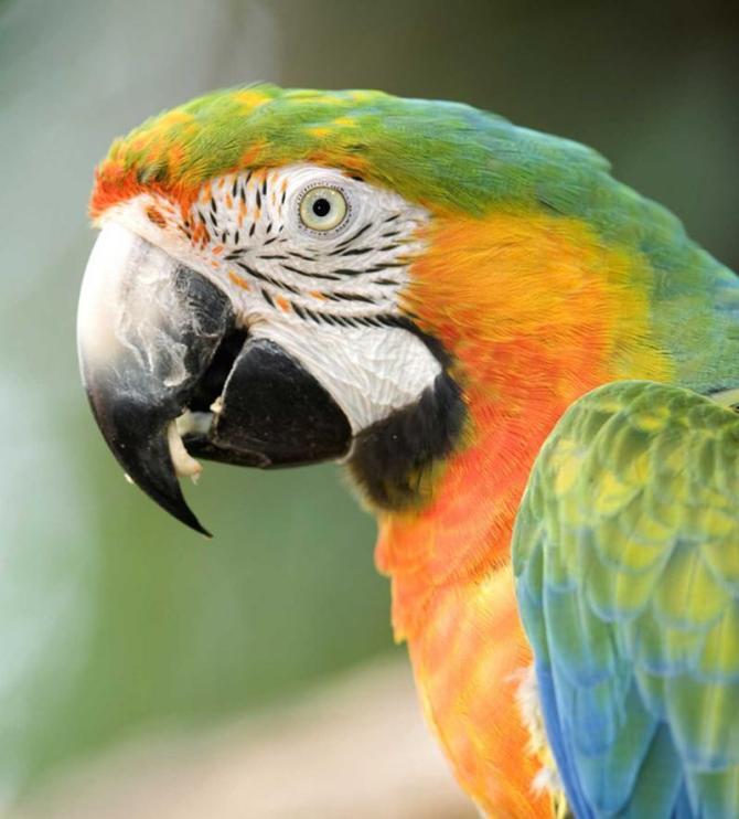 costa_rica_san_jose_tour_harlequin_macaw-12