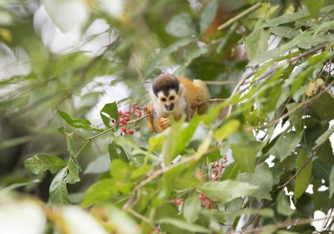 costa_rica_squirrel_monkey_in_tree