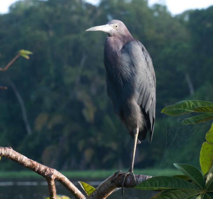 costa_rica_tortuguero_national_park_little_blue_heron_0