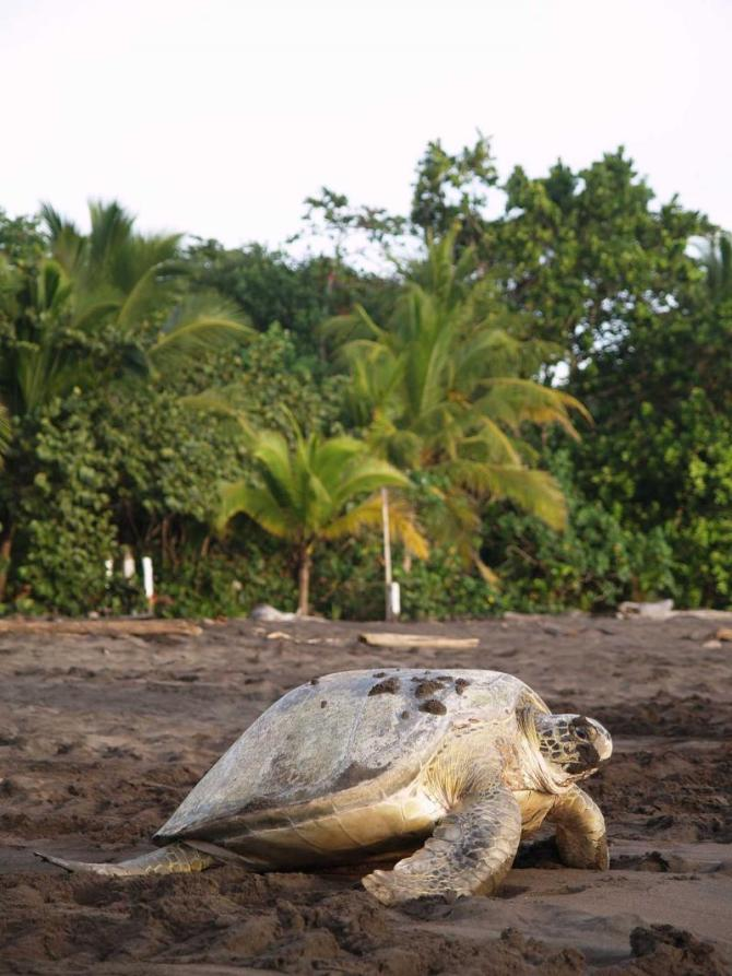 costa_rica_tortuguero_national_park_sea_turtle_crawling_from_the_beach_to_the_sea