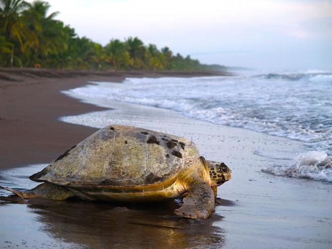 costa_rica_tortuguero_np_tour_sea_turtle