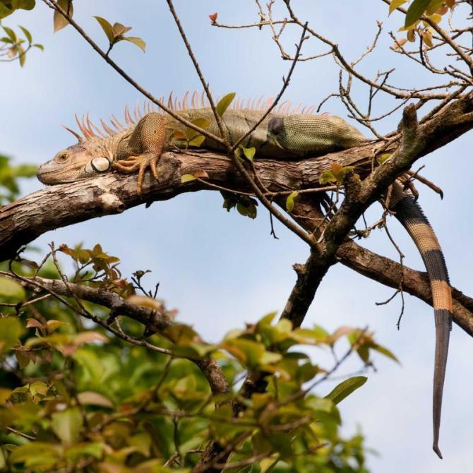 costa_rica_tortuguero_orange_colored_male_green_iguana