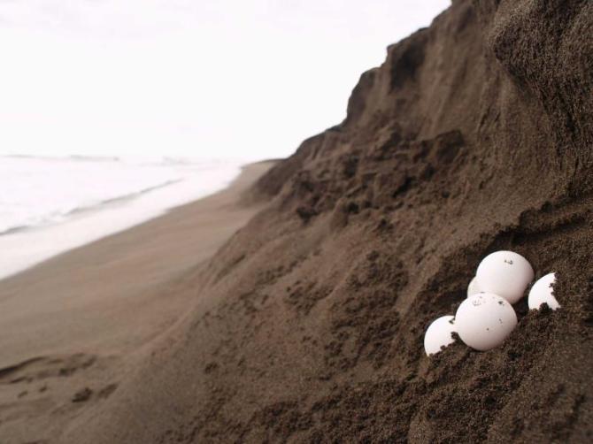 costa_rica_tortuguero_sea_turtle_eggs