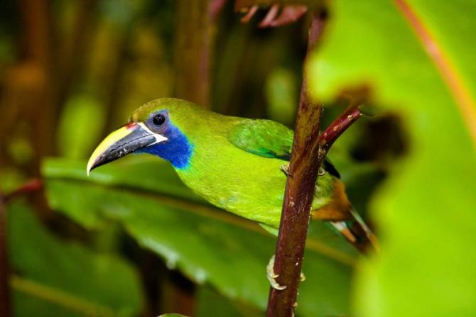 costa_rica_toucanet_bird_0