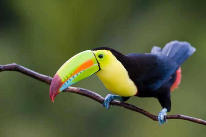 costarica-keelbilledtoucasgreenbackground