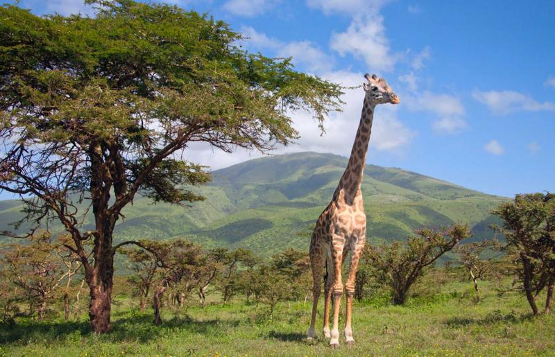 kenya-masai-mara-national-park-giraffe-and-tree_0