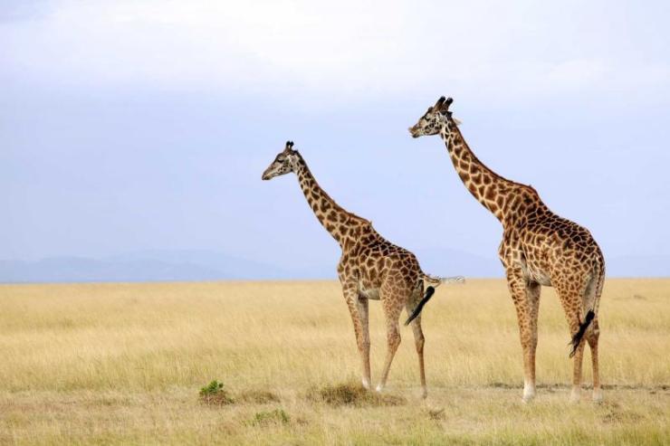 kenya_maasai_mara_national_reserve_tour_giraffes_on_the_maasai_mara_123