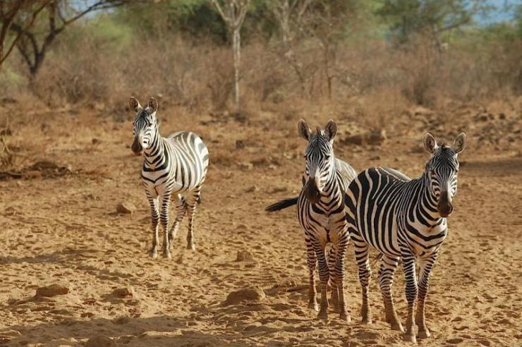 kenya_tsavo_west_np_tour_zebras_0