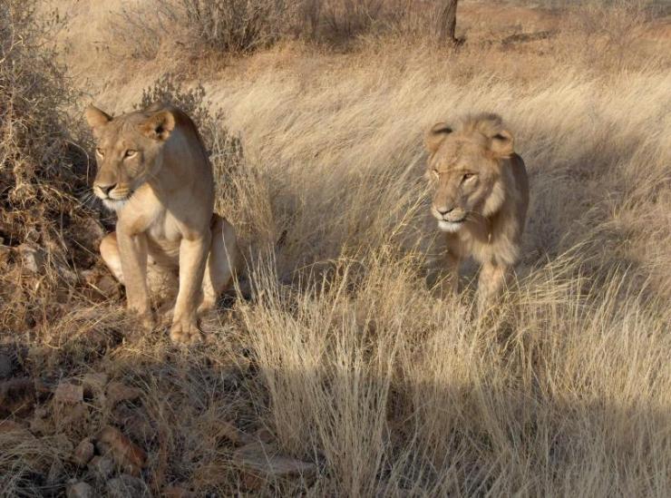 kenyasamburunationalreservetourlions-africanmeccaafricatours