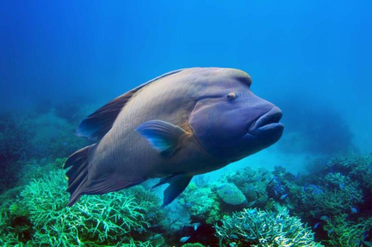 napoleon_fish_swimming_at_the_great_barrier_reef