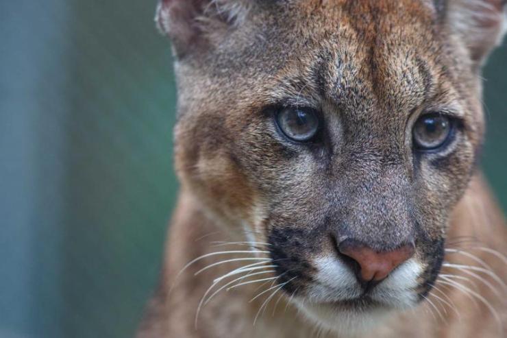 peru_amazon_jungle_close_up_of_a_cougar_face