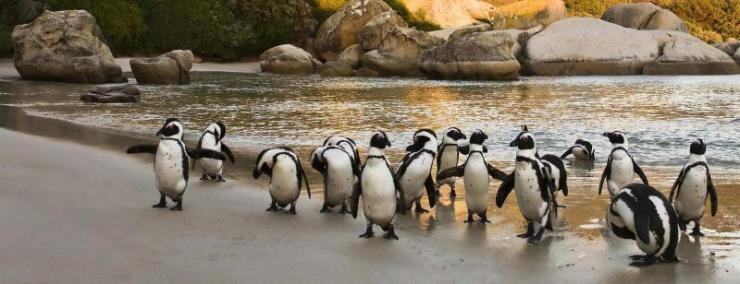 south-africa-cape-town-boulders-beach-african-penguin-group_0