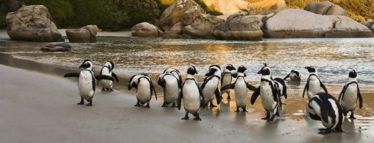 south-africa-cape-town-boulders-beach-african-penguin-group_2