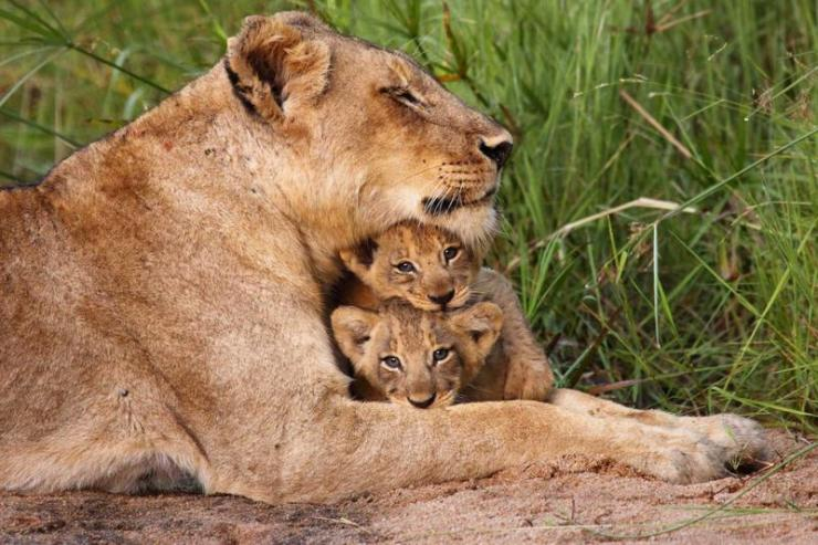 south-africa-sabi-sand-game-reserve-lioness-and-cubs_0