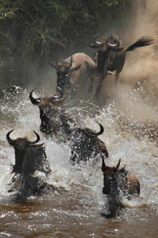 tanzania_serengeti_tour_wildebeest_crossing_mara_river_0